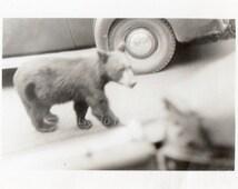 Vintage Photo ~ wild bear