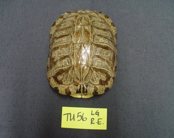 One Large Red-Eared Slider Turtle Shell Cleaned & Shined   (TU56)