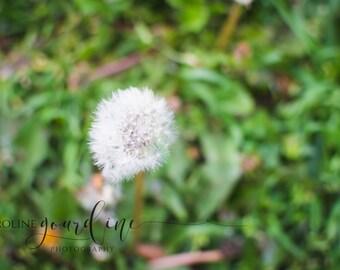 SALE! Fine Art Photography - Nature Photography Dandilion - Digital Download