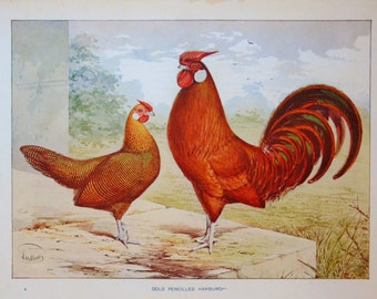 Antique Poultry Print, 1900s Edwardian Chromolithograph by Ludlow: Gold Pencilled Hamburgh