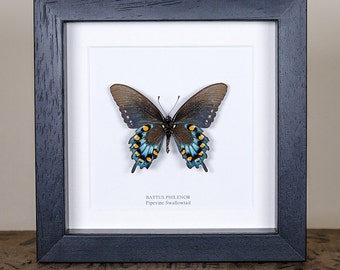 The Pipevine Swallowtail in Box Frame (Battus philenor) Real Mounted Butterfly