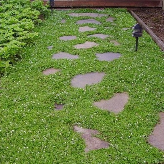 Creeping Speedwell Ground Cover Seeds Veronica Repens