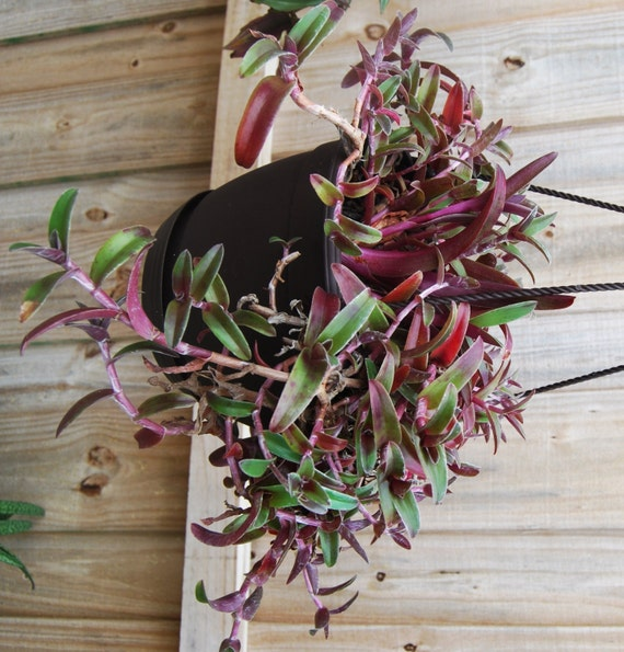Cyanotis obtusa purple green easy care wandering jew tradescantia companion from - Wandering jew care ...
