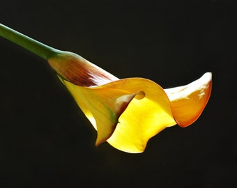 Yellow Calla Lily - flower art. flower photography. calla lily art. yellow flower. macro print. flower print. yellow on black. wall decor.