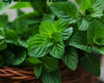 Garden Mint Candle/Bath/Body Fragrance Oil ~ 1oz Bottle