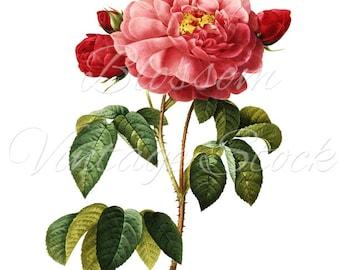 Pink Rose Digital Image, Antique Illustration INSTANT DOWNLOAD Vintage Digital Image Shabby Chic Rose - 1013