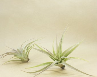 Tillandsia Xerographica Seedling Air Plant // Hello Tilly Airplant