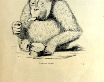 Curious antique monkey print, original 1860 orangutan eating engraving, odd primate plate, ape illustration,oddity mammals zoology.