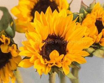 Sunflowers Closing for the Night