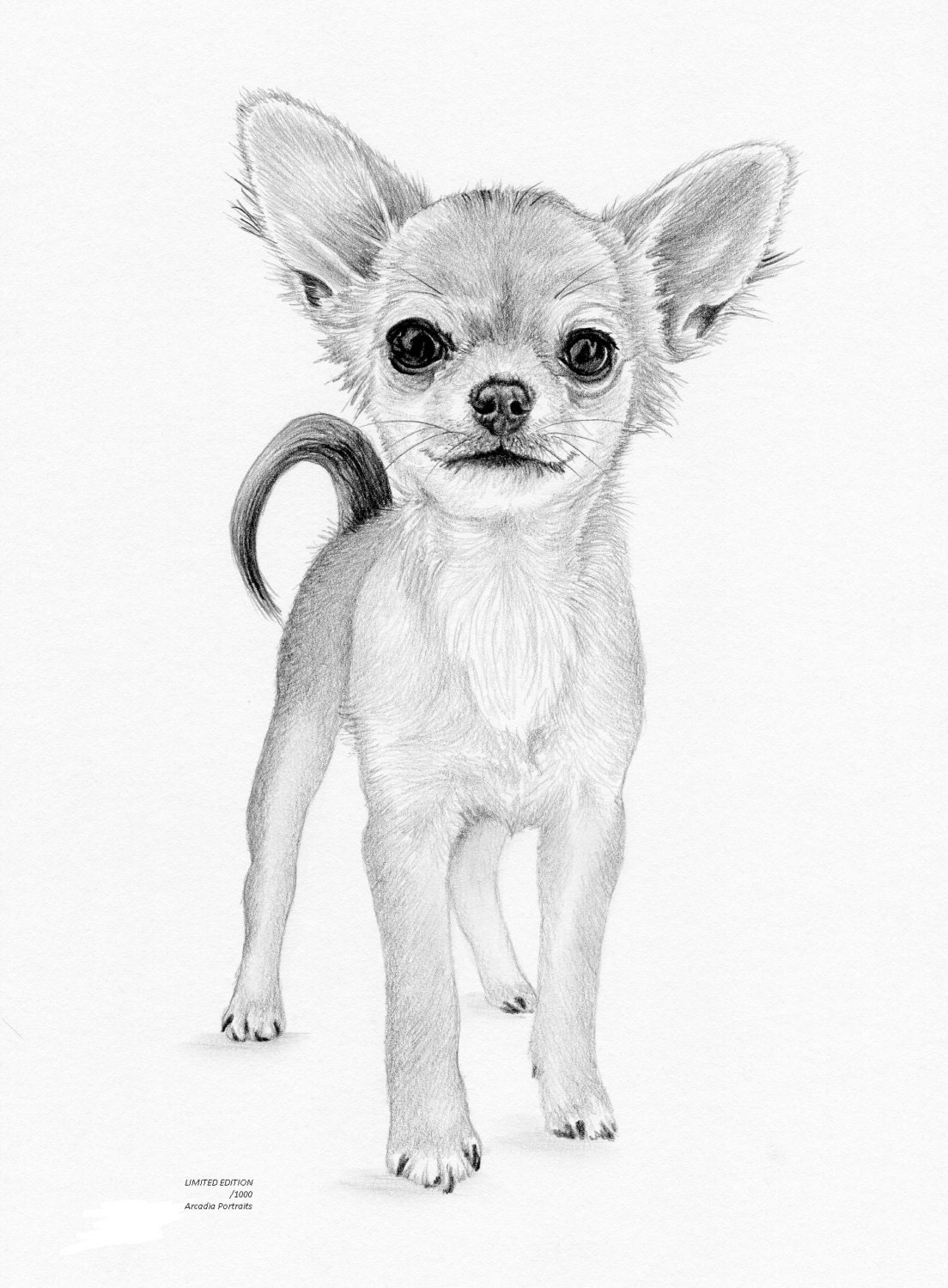 This is a photo of Dashing Drawing Of Chihuahua