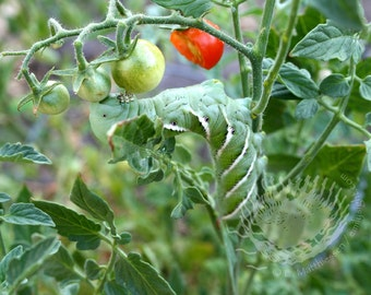 Tomato Hornworm Fine Art Photograph With Mat