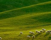 Tuscany Photography Sheep Photograph Italy Photo Landscape Italian Countryside Umbria Lambs  nat10