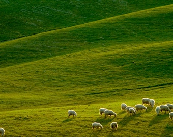 Tuscany Photography Sheep Photograph Italy Photo Landscape Italian Countryside Umbria Lambs  nat10