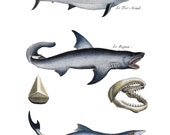 From Vintage French Print. Shark Print Home Decor. Great White Shark Jaws. Coral Reef Thresher Shark Sealife Art Print. Shark Theme Bathroom