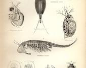 Vintage 1890 CRUSTACEANS Print Antique Ocean sea crabs shells print, bookplate art print, victorian wall print wall art