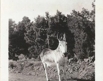 Bri-Tone Burro - Vintage 1930s Velox Denver Donkey Photograph