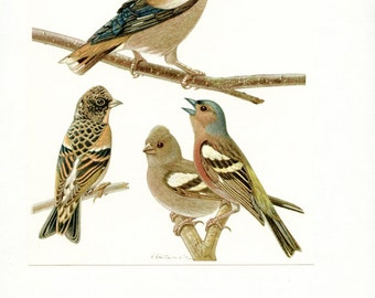 1961 Vintage chaffinch print Vintage bird poster Hawfinch bird print brambling poster Bird art Bird gift bird decor Ornithology gift