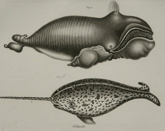 1837 Antique print of a RIGHT WHALE and a NARWHALE. Sea Life. Marine Mammals. Natural History. 179 years old engraving