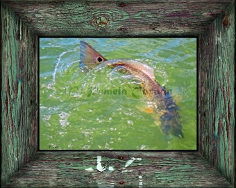 "Redfish tailing after fiddler crabs: red drum painting print spottail bass art 11x14"" red drum splashing in water"