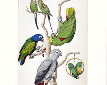 1859 Antique Bird Print Parrot Lory Love Birds Great Coloring Vintage Bird Print Custom Matted