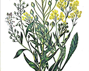 Anne Pratt Antique 1860 Botanical print, Plate 19 Gold of Pleasure, Flowering Plants