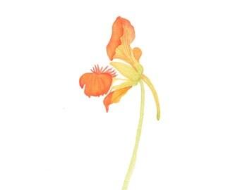 Watercolor Orange Nasturtium Miniature Botanical Painting