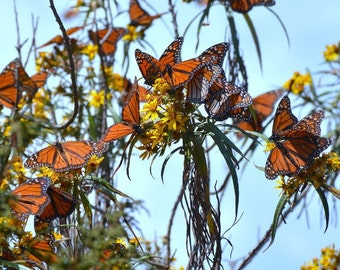 Monarch Butterfly Migration - Monarchs, Mexico Photography, Monarch Photography, Monarch Butterflies, Butterfly Art, Monarch Art, Nature