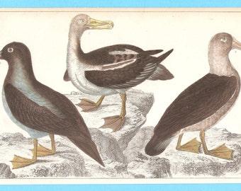 Antique Birds (albatross booby) illustration