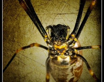 "10""x10"" Instant Download ""Through the Web"" Fine Art Photo - Up close with a Golden Orb Weaver Spider (Arachnid), textured background applied"