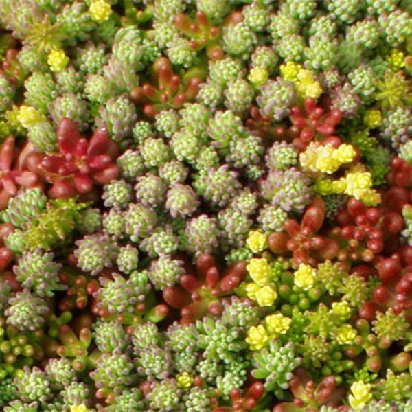 green roof plants seeds mix sedum sempervivum seeds for 3 4 m2 from sunnyplantscom on etsy. Black Bedroom Furniture Sets. Home Design Ideas