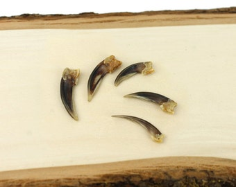 """Real Badger Claws 1.25-1.75"""" 