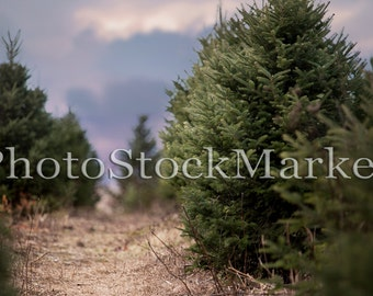 Christmas Tree Farm - Digital Background - 61 - New England Pine trees - Wooded Winter Scene -  Photoshop Background - Evergreen Trees