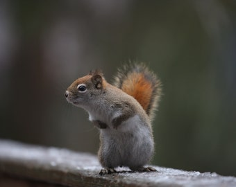 Curious red squirrel ~ 5 x 7 blank greeting/note card
