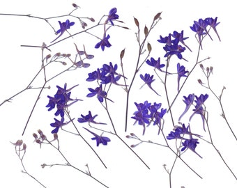 Pressed Flowers.(16 branches) Consolida regalis. Purple. Herbarium. For Oshibana, Cards, Scrapbookin, Design, Decor
