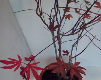 Japanese maple bonsai Red dwarf