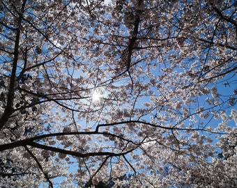 Under the Cover of Sakura