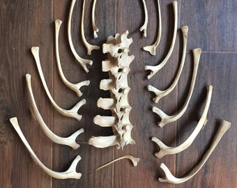 Real adult ostrich backbone with ribs.