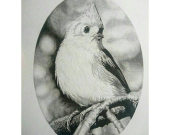 Little mouse bird,l. Graphite pencil portrait of a tufted titmouse bird
