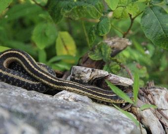 Garter Snake On Rock