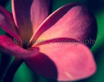 Plumeria Passion Fine Art Photography