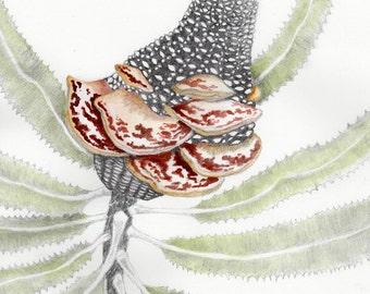 Banksia Seed Pod Drawing #4