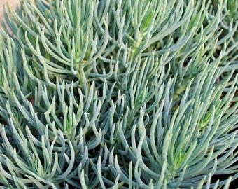 Succulents, Blue Chalk Fingers Plant, Senecio vitalis 'Serpents'