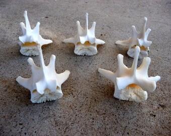 Real Wolf Bones -Set of 5 Vertebrae - Bone