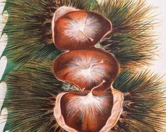 Antique 1889 Botanical Print - Paragon Chestnut Chromolithograph