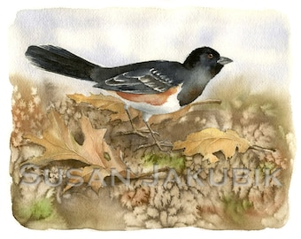 Spotted Towhee Watercolor, Original Watercolor