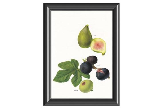 Fruit print figs vintage Botanical Print by Marilena Pistoia kitchen decor gardening gift 8 x 11.75 inches