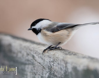 chickadee - instant download