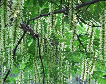 Pterocarya Stenoptera Shade Tree 15/50/100 Seeds, Ornamental Chinese Wingnut