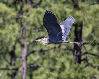 Blue Heron flies at Goldwater