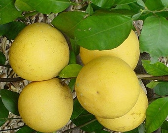 Ruby Red Grapefruit Tree, 1-2 Year Old (1-2 Ft), Potted, 3 Year Warranty